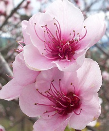 Toowoomba Carnival of flowers - peach blossom